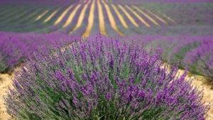 Lavendelfelder Hvar
