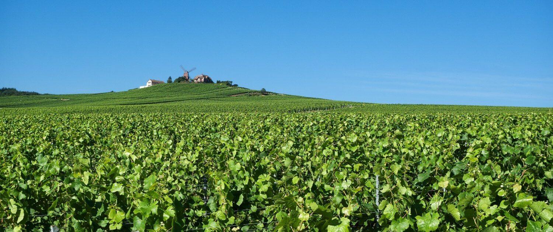 Weinberge in Reim Frankreich