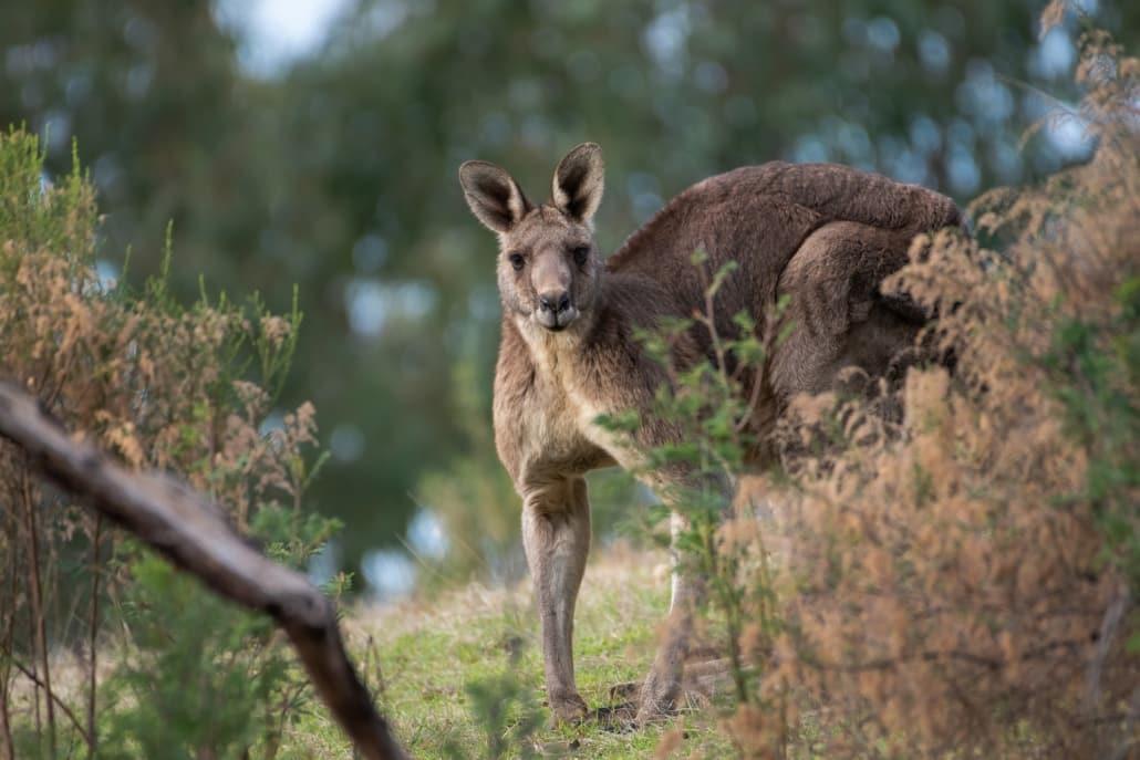 Kängoru im Wildpark schaut in die Kamera